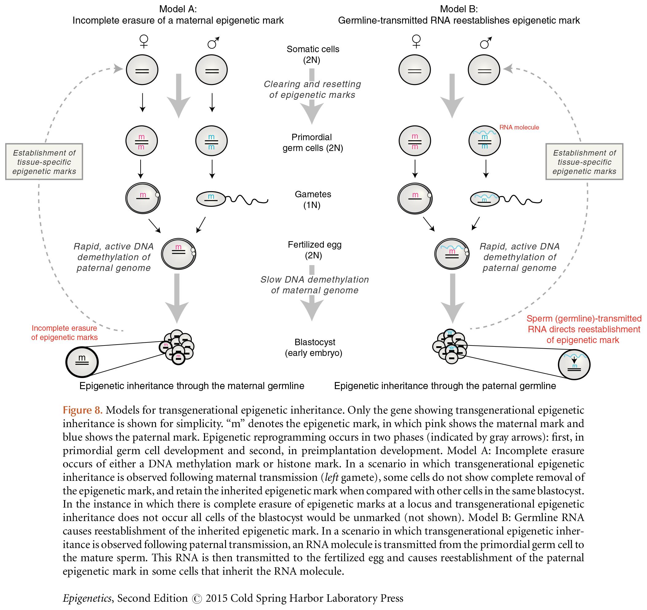 transgenerational model